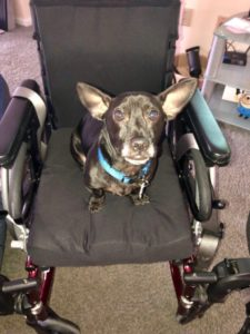 small dog with big ears looking up at the camera while seated in Lilli's wheelchair.